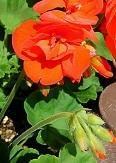 ゼラニウムの花が咲きました。 - あすか司法書士事務所 補助者の日記<東京都台東区>