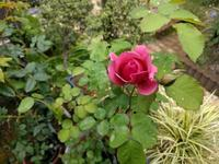 バラの花ぽつぽつ、スナップエンドウざっくざく - natural garden~ shueの庭いじりと日々の覚書き