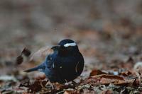枯れ葉を蹴散らして.....マミジロ - 新 鳥さんと遊ぼう