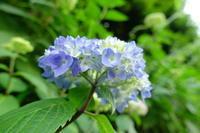 涙色の紫陽花 - みけらぶさんぽ