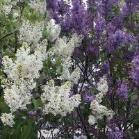 ライラックが咲きだしました✨💕 - 和の色彩