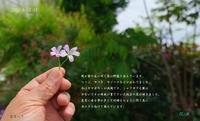 2020-5-12-17庭の花は終盤を迎えています - 日本全国くるま旅