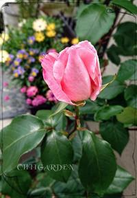 バラとオステオスペルマム♡ - どんぐりの木の下で……