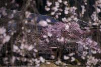 2020桜咲く奈良旧丹生小学校の桜 - 花景色-K.W.C. PhotoBlog