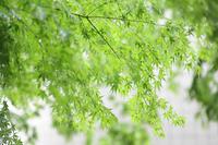 雨の青紅葉 - 写真の記憶