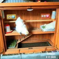 烏骨鶏の夫婦ゆき・ひな - 烏骨鶏かわいいブログ