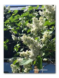 花の季節 - 雪割草 - Primula modesta -