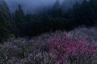 霧立つ賀名生梅林 - katsuのヘタッピ風景