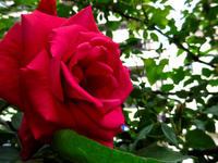 #1245 真赤なバラ - ちょた☆グラフ