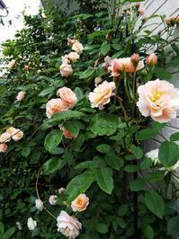 コーネリアの巻き返し - 小庭の園芸日記