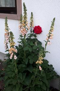 もりもりジキタリス( ゚∀゚) - わらびの庭づくり。時々猫