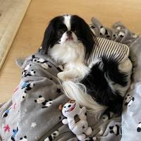 犬おもちゃ1号昇天☆彡アスパラガス - 狆の茶々丸