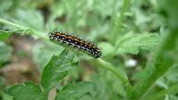 コヒョウモンモドキの食草の多様性を見た(Ⅱ) - 2020 浅間暮らし(ヤマキチョウ便り)