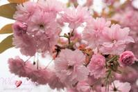 八重桜(double cherry-blossoms) - White Love