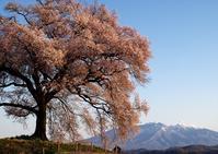 わに塚の桜再現像 - Patrappi annex