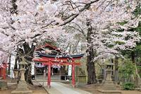 弘前天満宮の桜_2020.04.28 - 弘前感交劇場