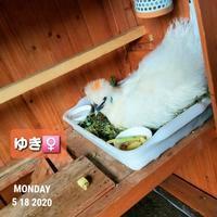 ウコッケイの好きなもの - 烏骨鶏かわいいブログ