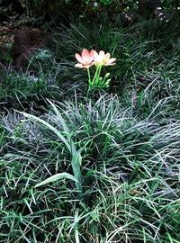 """""""ヒメヒオウギ(姫檜扇)""""こぼれ種から発芽して開花しました! - 健気に育つ植物たち"""