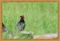 三島江の河川敷でキジを鳥×撮り2020.05 - 鳥×撮り+あるふぁ~