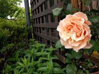 バラとクレマチス - natural garden~ shueの庭いじりと日々の覚書き