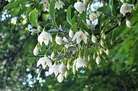 5月の白い樹花 - 里山の四季