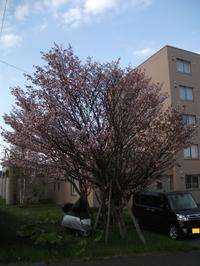 遅い桜、満開 - 北海道中央NOSAI 宗谷支所 非公式 ブログ