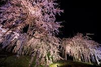 2020桜咲く京都 宇治市植物公園ライトアップ - 花景色-K.W.C. PhotoBlog