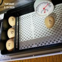 孵卵19日目 - 烏骨鶏かわいいブログ
