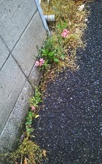 """こんな所でも""""ヒメヒオウギ(姫檜扇)""""開花してました! - 健気に育つ植物たち"""