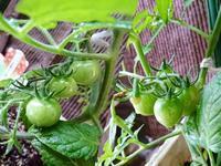 トマトの成長 - NATURALLY