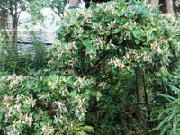 吸葛 - だんご虫の花