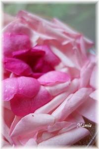 散ってしまった花びら - おだやかに たのしく Que Sera Sera