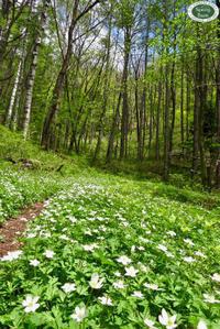 新緑の季節のお花トレッキング~。 - 乗鞍高原カフェ&バー スプリングバンクの日記②