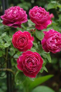 小雨の中、美しく咲くバロン・ジロー・ドゥ・ラン(5月9日) - Reon with LR & Roses