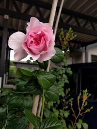モンクールとジギタリスとアメシロ - natural garden~ shueの庭いじりと日々の覚書き