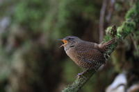 ミソサザイ苔むした斜面で - 気まぐれ野鳥写真