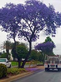 ジャカランダの花 - 猫のいる風景