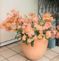 レウィシアが可愛過ぎ&初バラ開花 - ペコリの庭と時々パン
