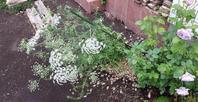 雨で良かったものもある - わらびの庭づくり。時々猫