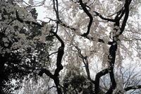 車折神社…名残りの桜 - Taro's Photo