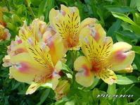 アルストロメリア(2品種)が開花してしています。 - デジカメ散歩悠々