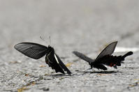 オナガアゲハ・・・2頭飛ぶ - 続・蝶と自然の物語