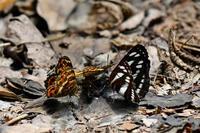 コミスジとサカハチョウ・・・良く獣糞で - 続・蝶と自然の物語
