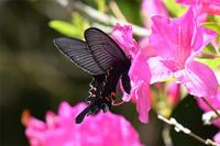オナガアゲハ・・山頂にも - 続・蝶と自然の物語