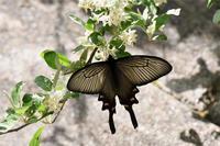 ジャコウアゲハ・・山頂にも - 続・蝶と自然の物語