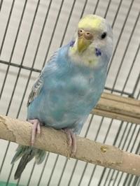 !!!!小鳥大人気!!!! - ペットショップウェーブ TEL 047-453-8250