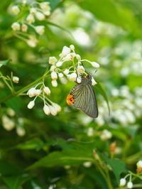 アオバセセリ - 自然を楽しむ