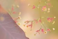 「スモークツリー」のお花 - 心 色