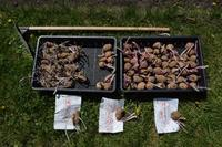 自然栽培ジャガイモの植付け畝作りが完了山ウド - 自然栽培 釧路日記