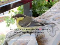 """""""正体判明!"""" ~ 6年前、家にやってきた謎の幼鳥 ~ - 『ROMA』ローマ在住 ベンチヴェンガKasumiROMAの「ふぉとぶろぐ♪ 」"""